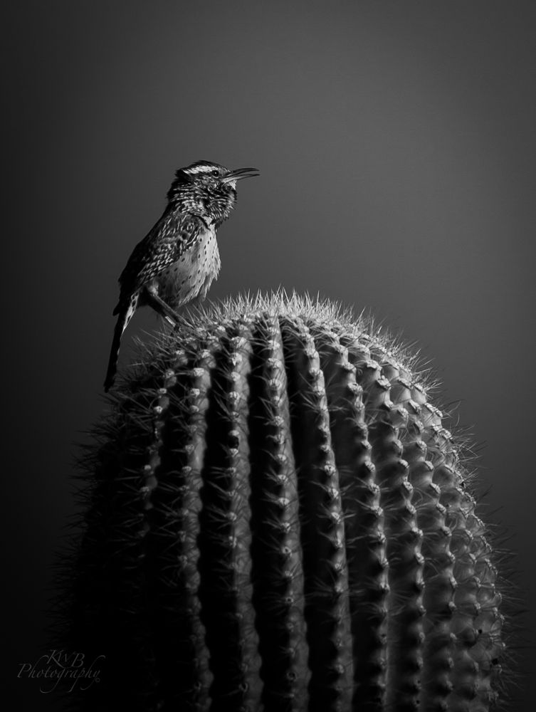 Cactus Wren by americanbruce