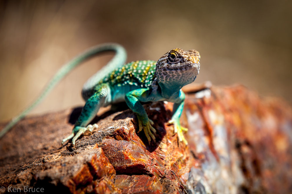 Eastern Collared Lizard by americanbruce
