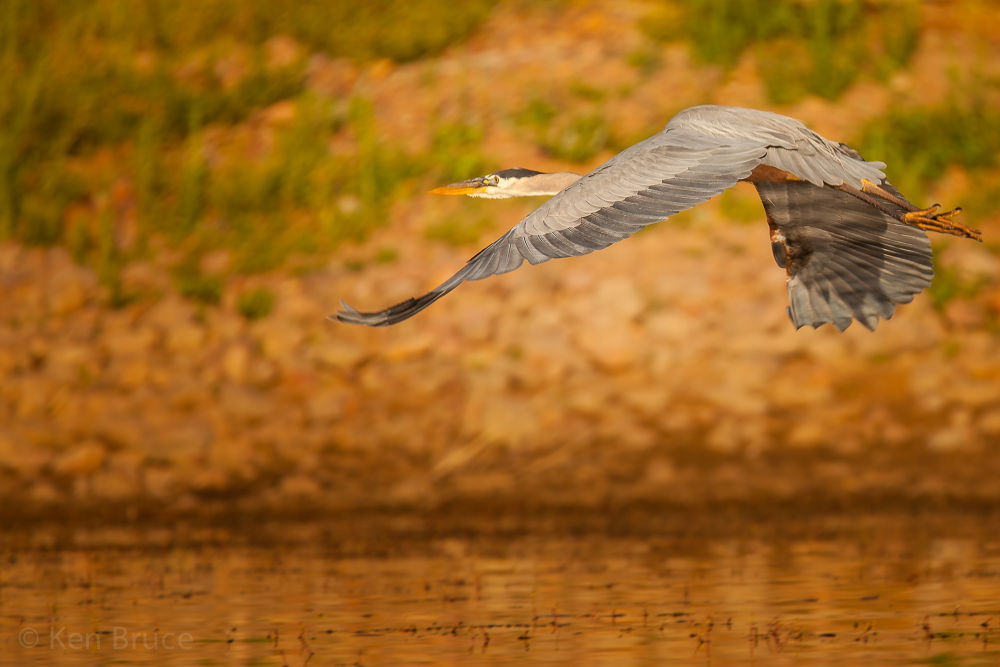 Great Blue Heron early morning flight by americanbruce