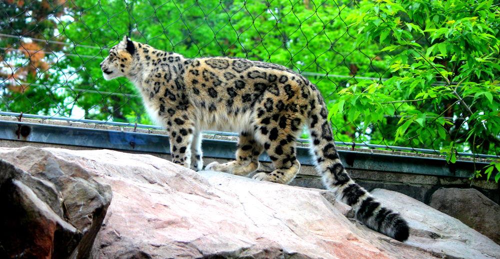 snow leopard by joyeeta4ever