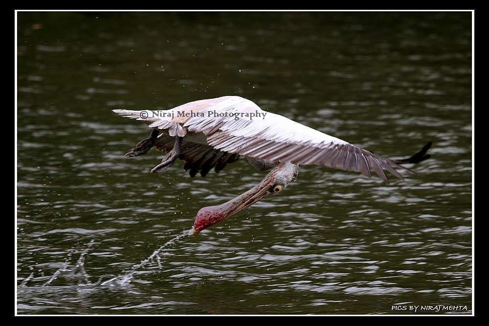 Spot Billed Pelican in action................ by NIRAJ MEHTA