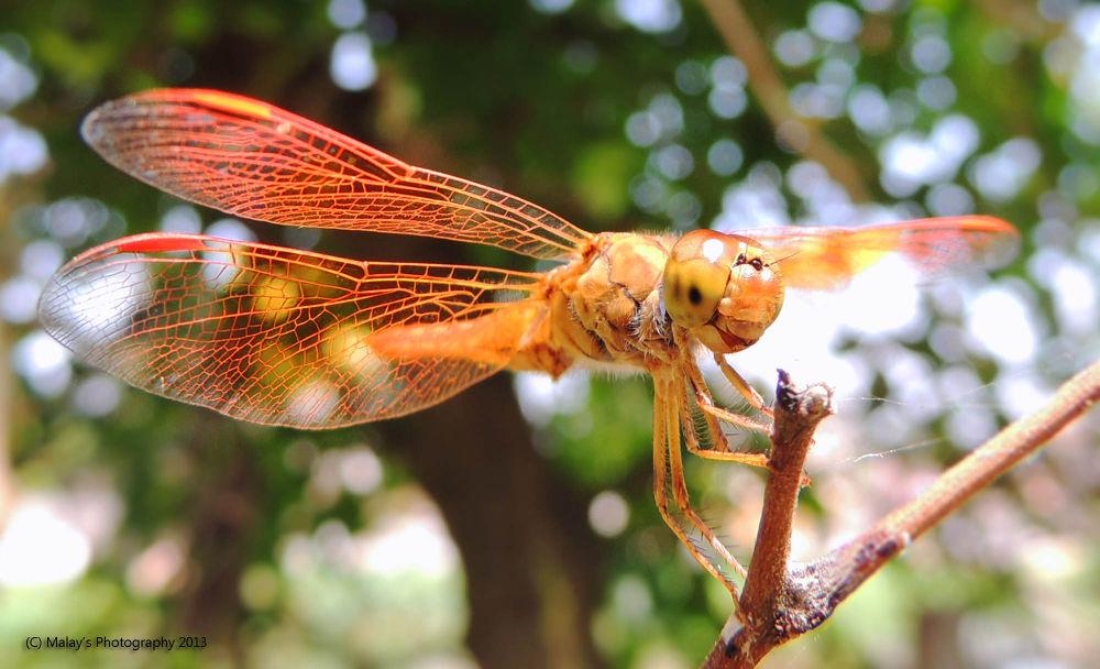 Dragon Fly.. by Malay Karmakar