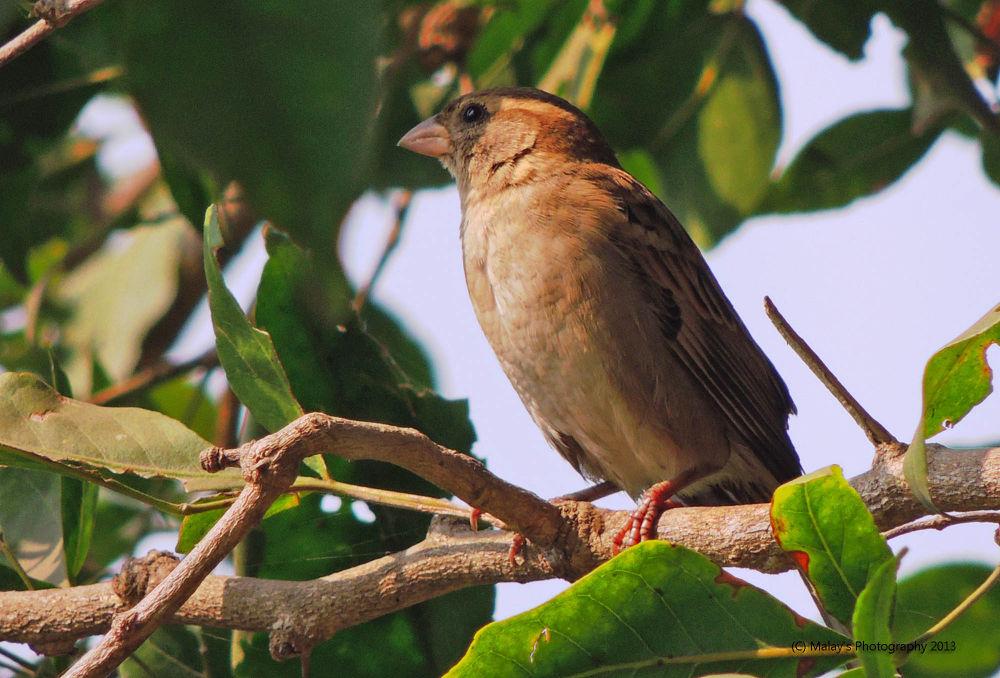 House Sparrow by Malay Karmakar