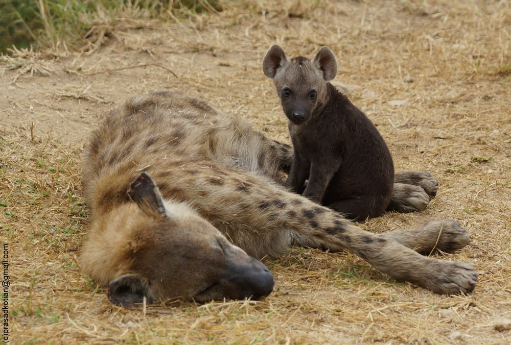 Hyena Pup with Mother by prasadkotian
