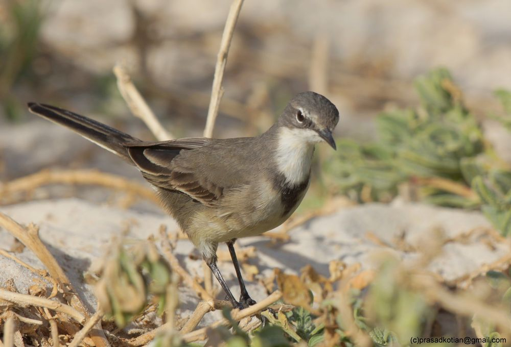 Cape Wagtail by prasadkotian