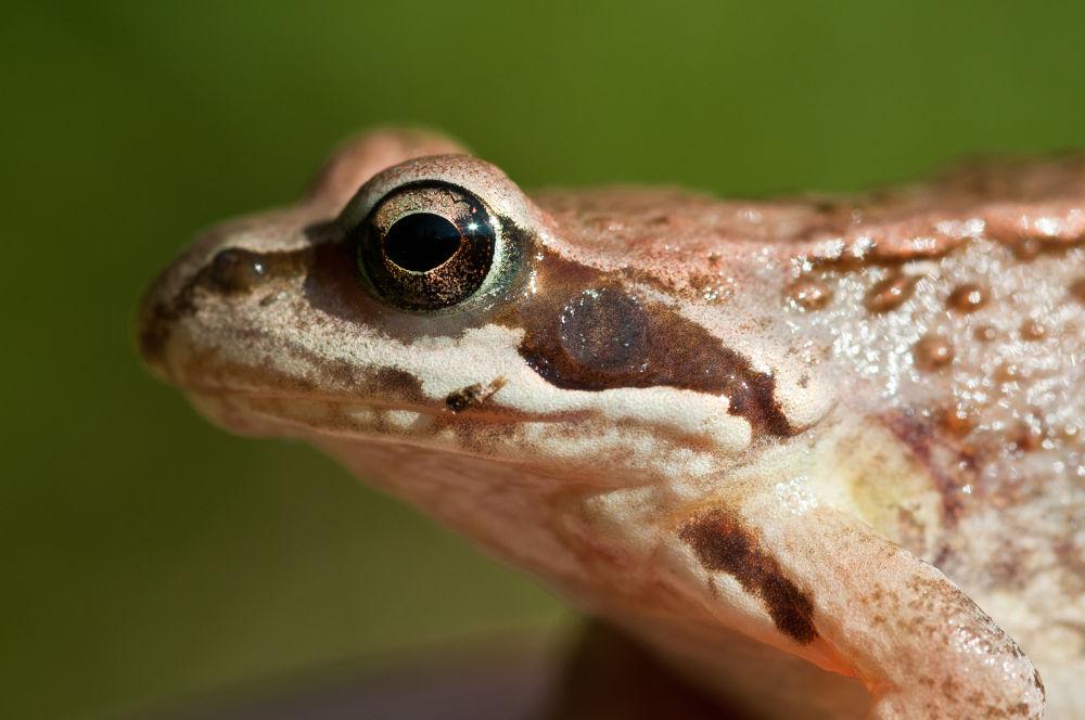 frog by ulrikefelkel
