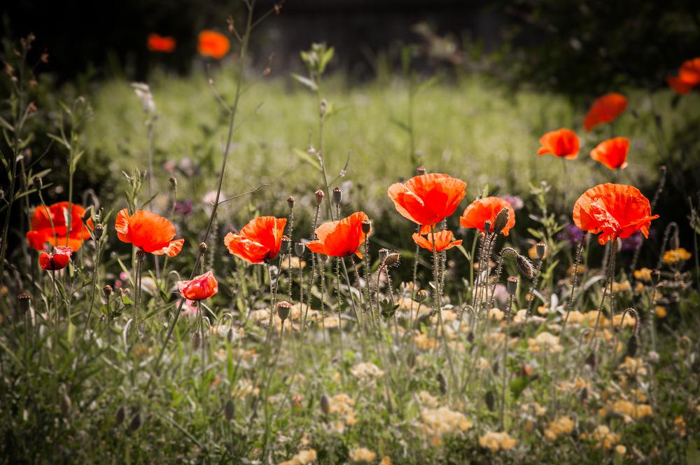 poppy by ulrikefelkel