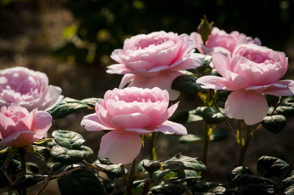 roses by ulrikefelkel