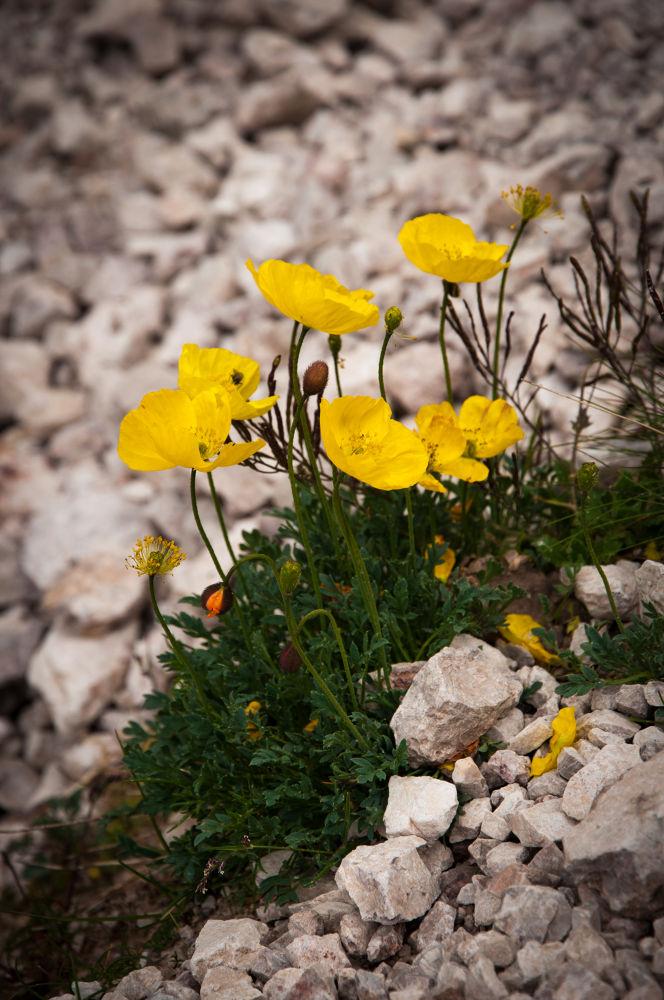 yellow poppy by ulrikefelkel