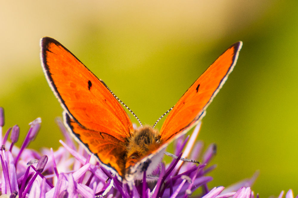 common copper by ulrikefelkel