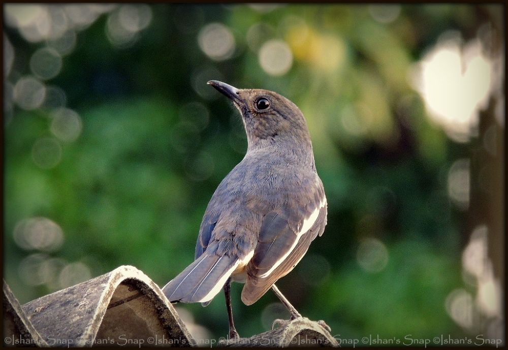 Oriental Magpie Robin by ishanadri