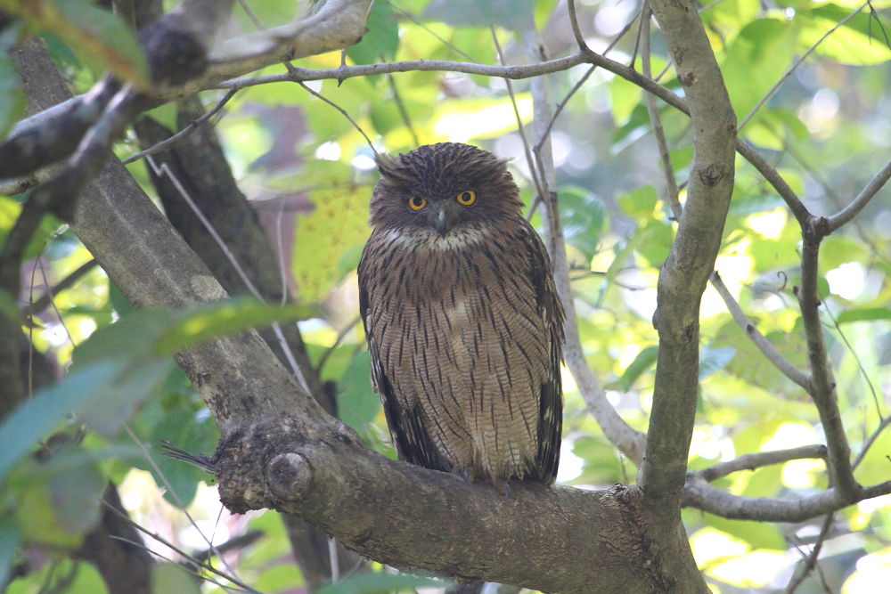 Brown Fish Owl by Jay Vedant