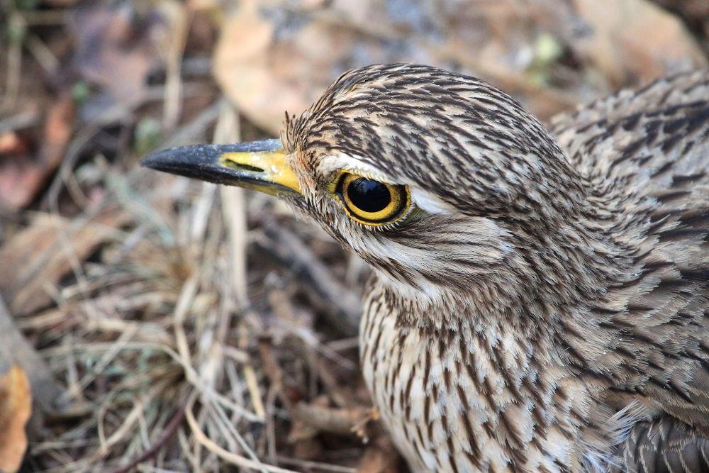 Photo in Animal #birds #eyes #wildlife #madhya pradesh #india #indian wildlife #pench national park #jungle #forest