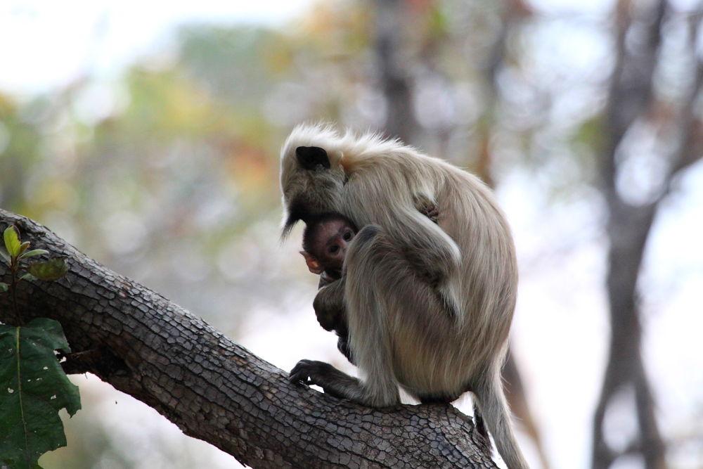 Photo in Animal #india #wildlife #indian wildlife #nature #monkeys #jungle #forest