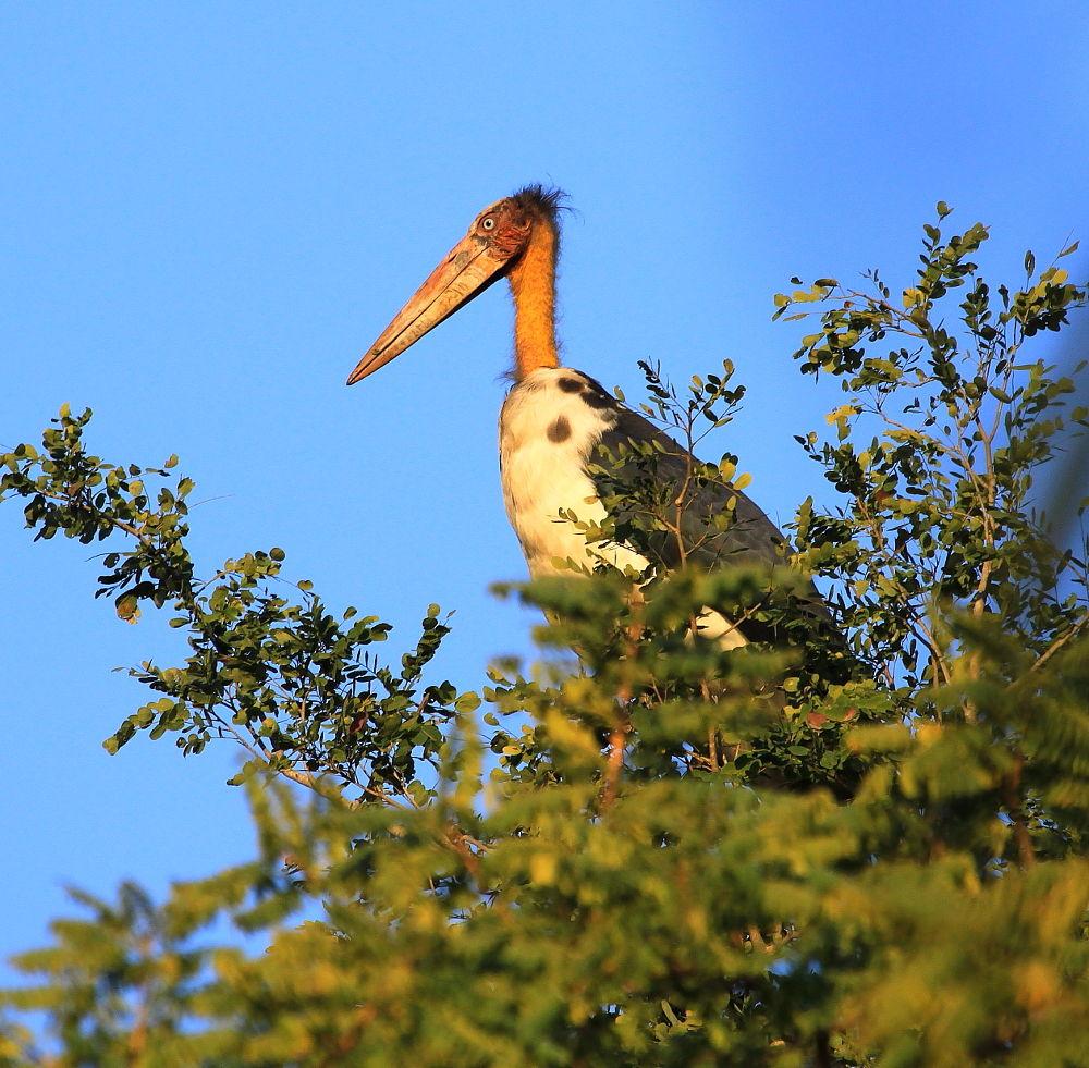 Lesser Adjutant Stork by Jay Vedant