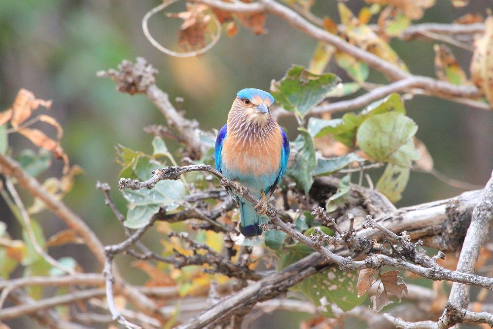 Photo in Animal #birds #indian birds #indian roller #wildlife #indian wildlife #forest #jungle