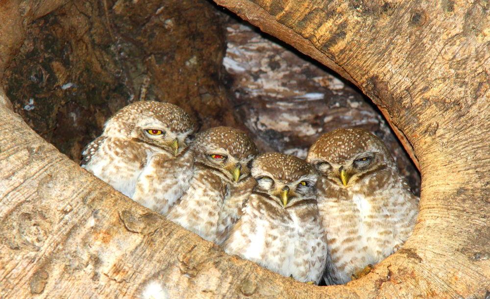 Photo in Animal #birds #owl #jungle #wildlife #indian wildlife #forest #indian birds