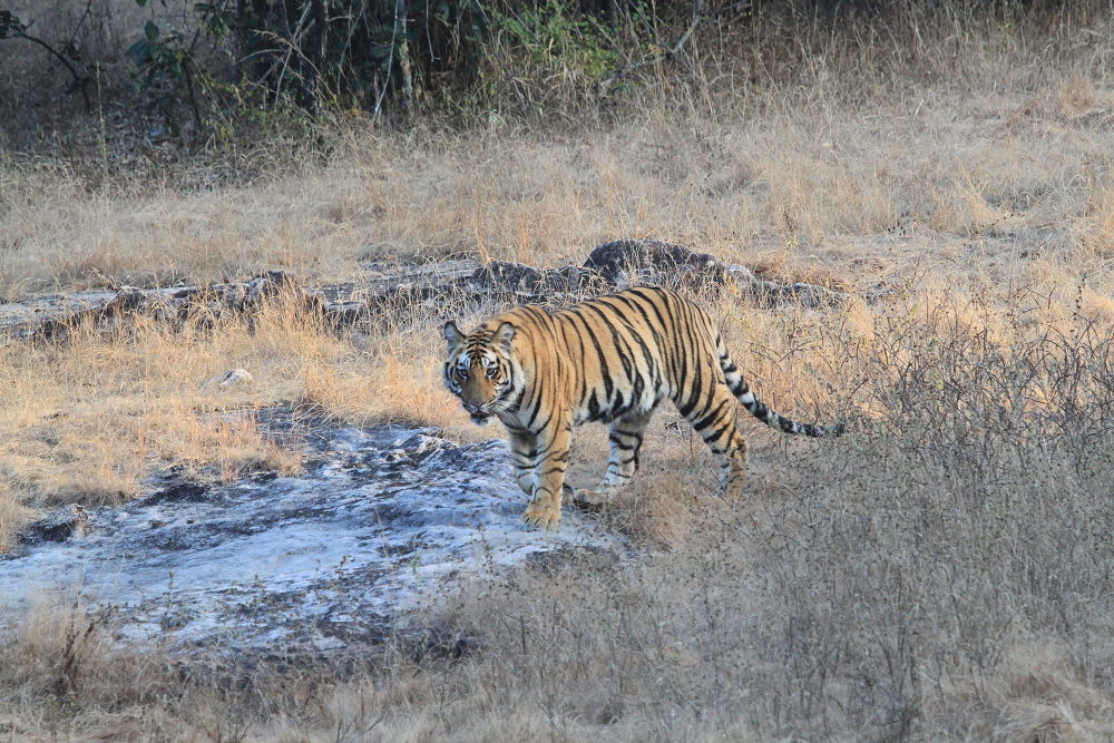 Princess of Bandhvgarh Tiger Reserve by Jay Vedant
