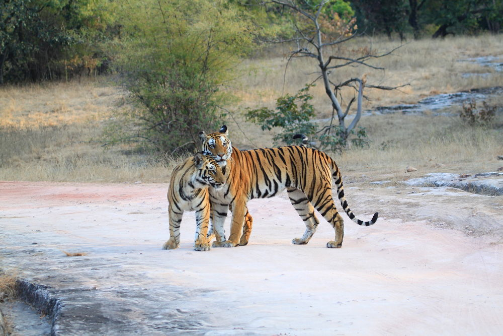 Photo in Animal #tiger #mother #nature #india #wildlife #indian wildlife #bigcat #stripes #forest #jungle
