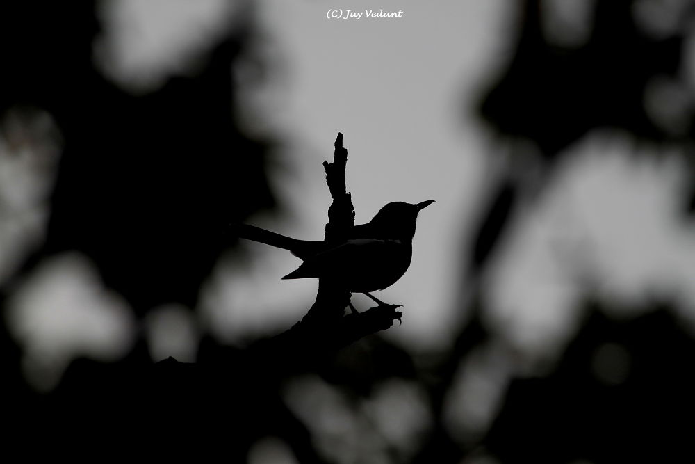 Robin  by Jay Vedant