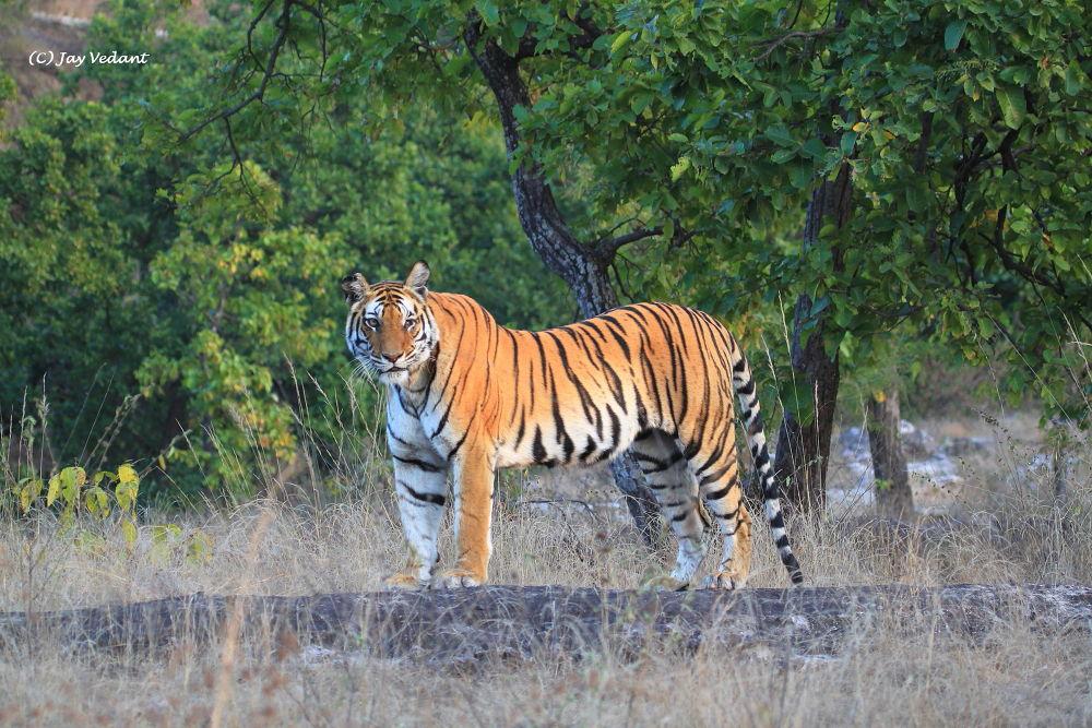 One eyed tigress by Jay Vedant