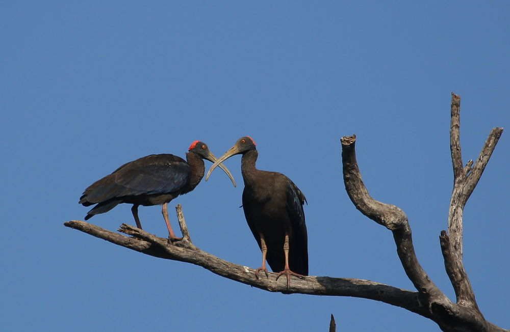 Red-naped Ibis by Jay Vedant