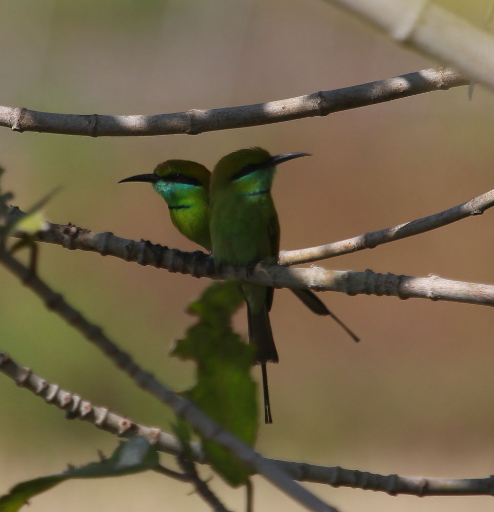 Little green bee eater  by Jay Vedant