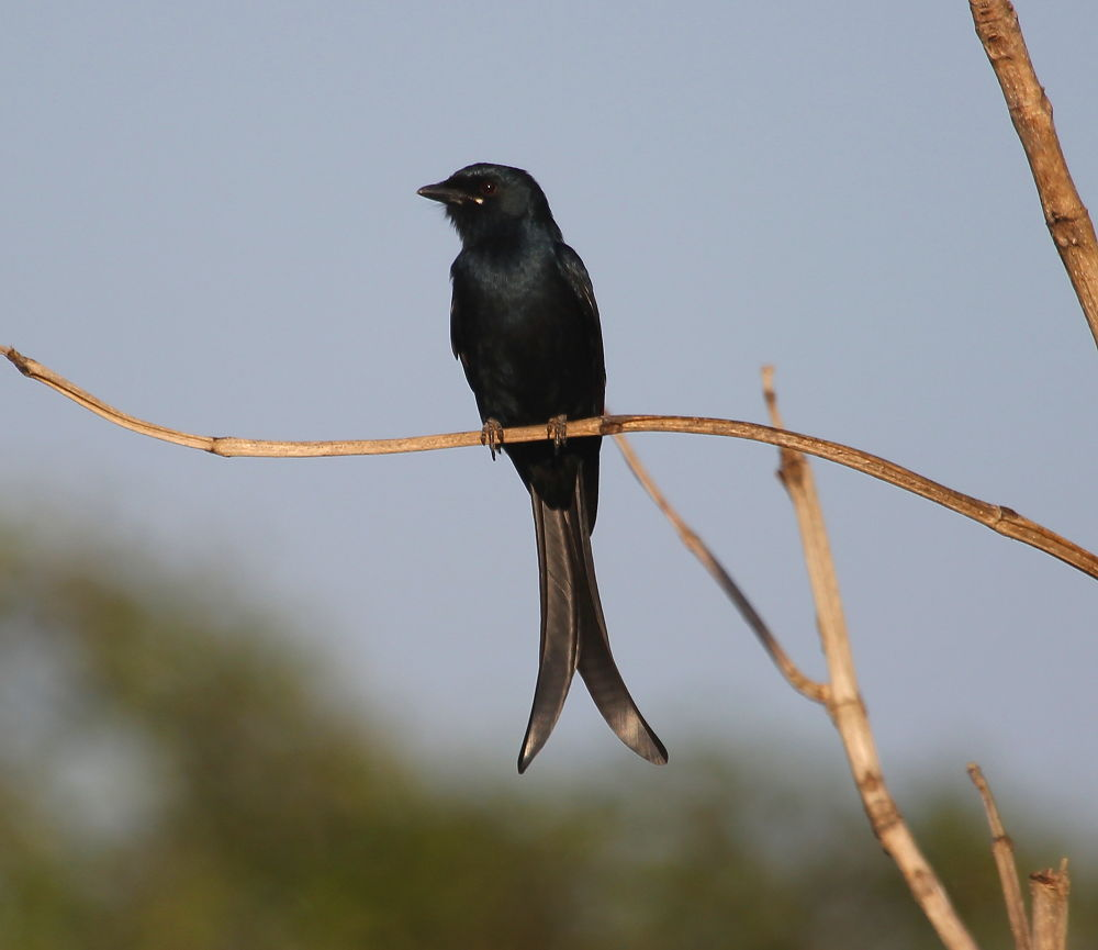Black Drongo  by Jay Vedant