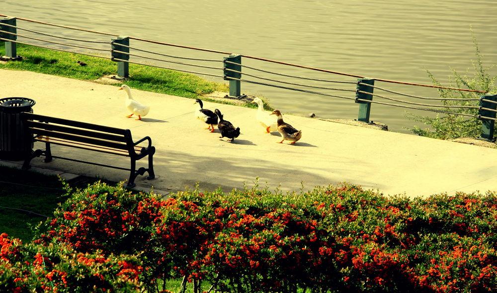 ducks way.. by harun