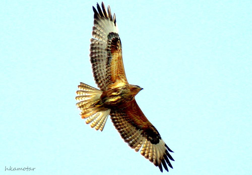 Kızıl şahin » Long-legged buzzard » Buteo rufinus by harun