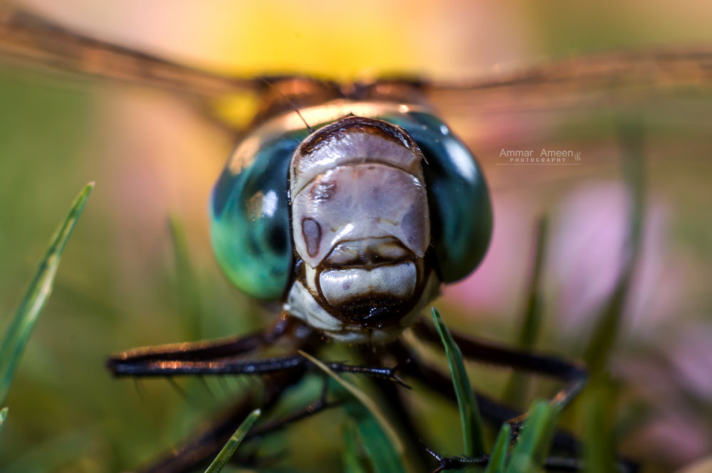 dragonfly by AMMAR
