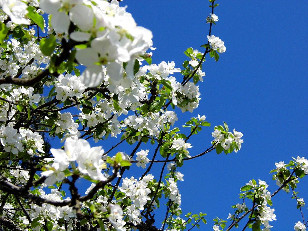 Beautiful apple tree by AnnSoul