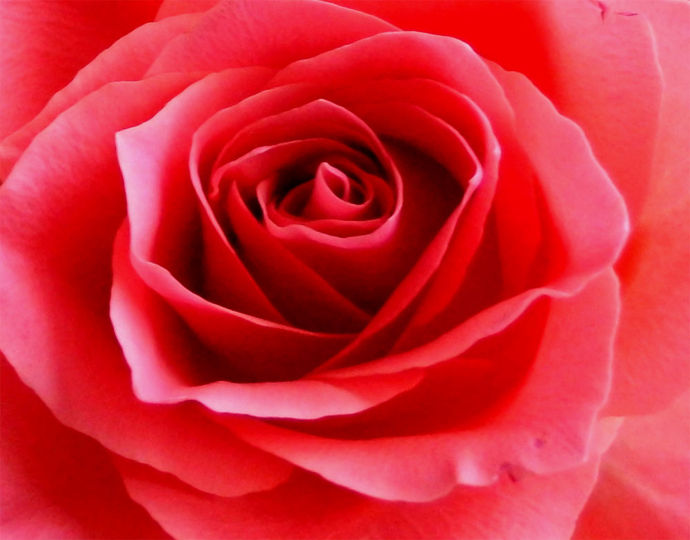 Red rose by AnnSoul