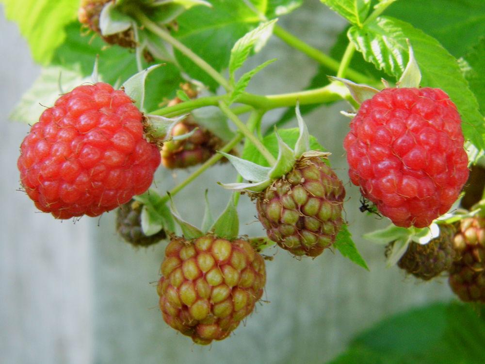 Raspberry by AnnSoul