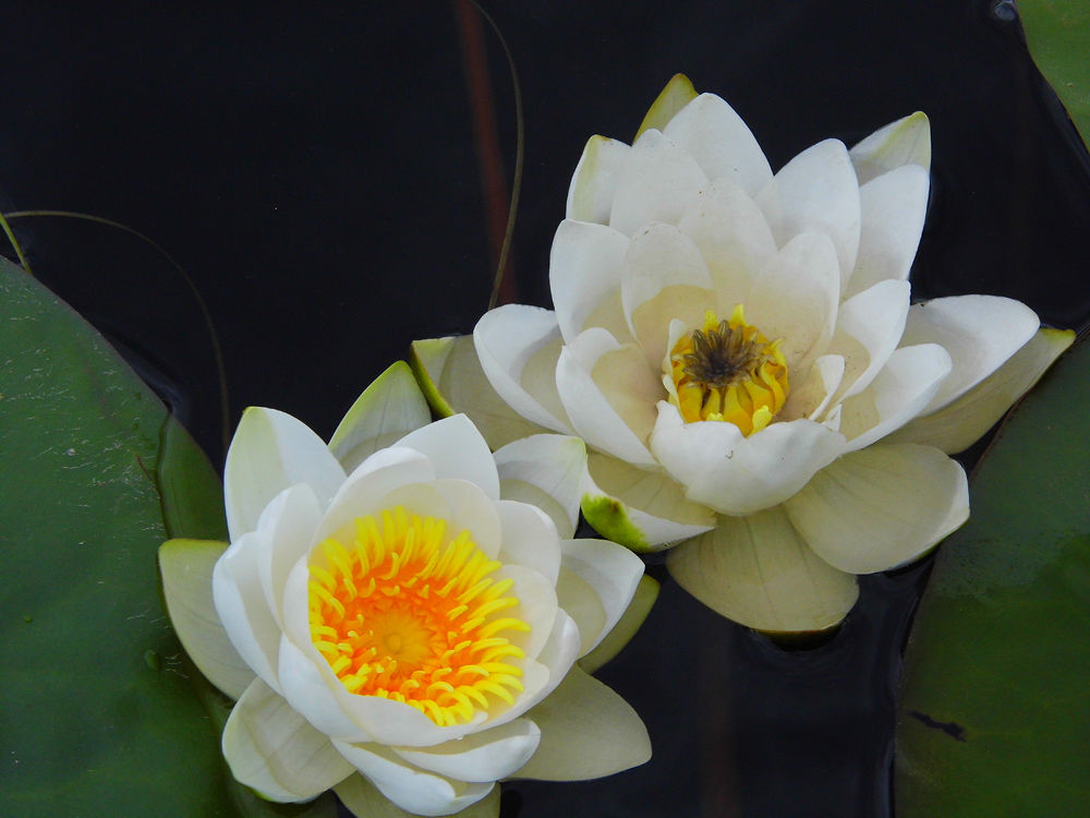 Waterlily by Ann