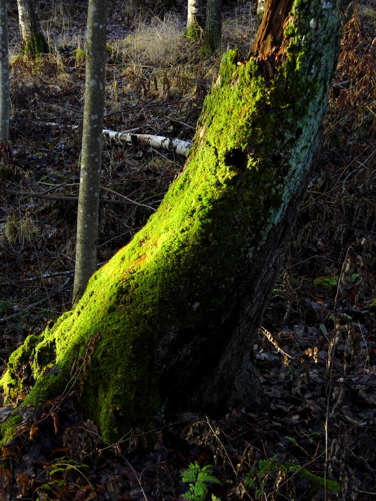 Rotten tree trunk covered by beautiful green moss by Ann