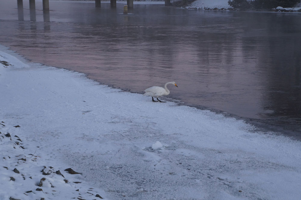 A lone swan left in cold -20 degree by Ann