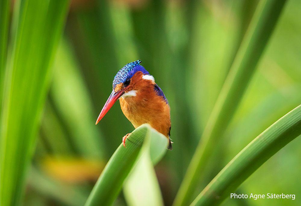 Kingfisher in Tanzania