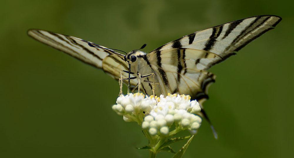 Zebra Swallowtail by Filiz Bariskan