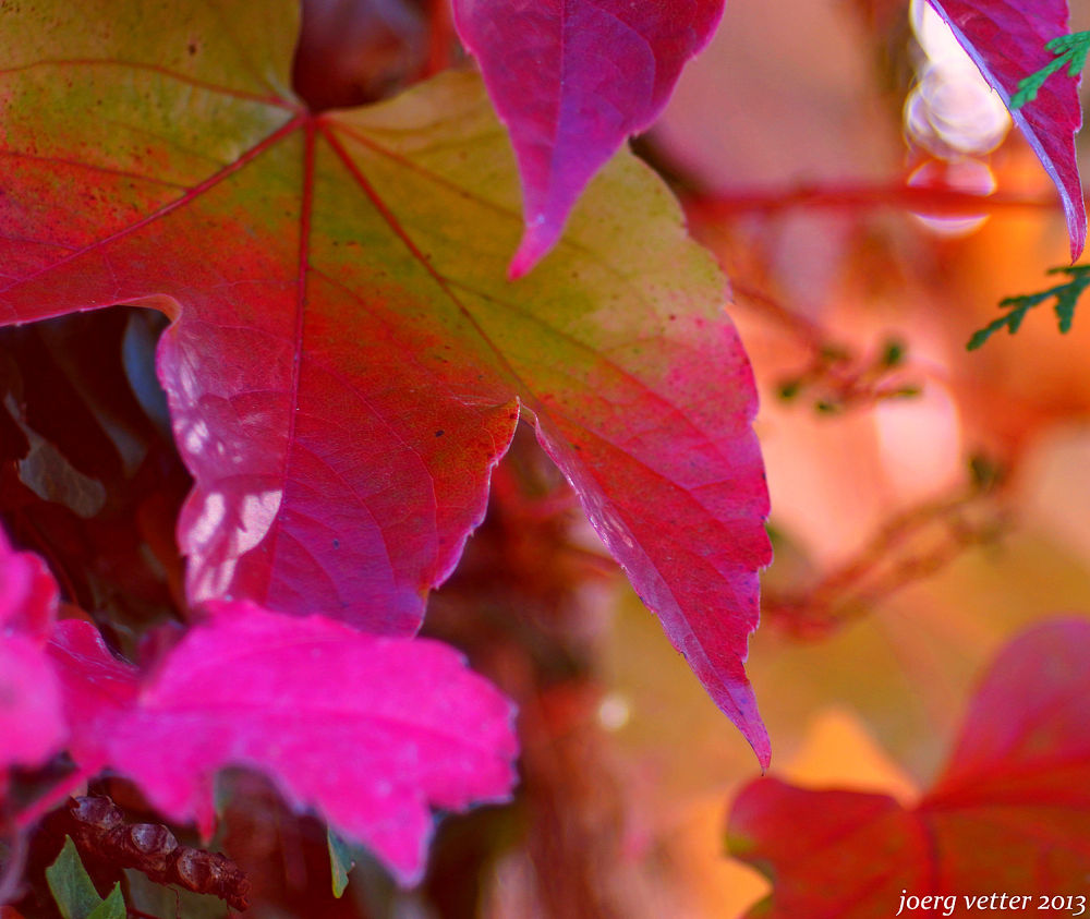 Photo in Nature #joerg vetter #sony 77 #man jove #leafs #autumn #sigrun adrian #sigi adrian