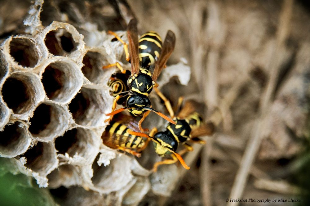 Wasps building their nest by FreakshotPhotography