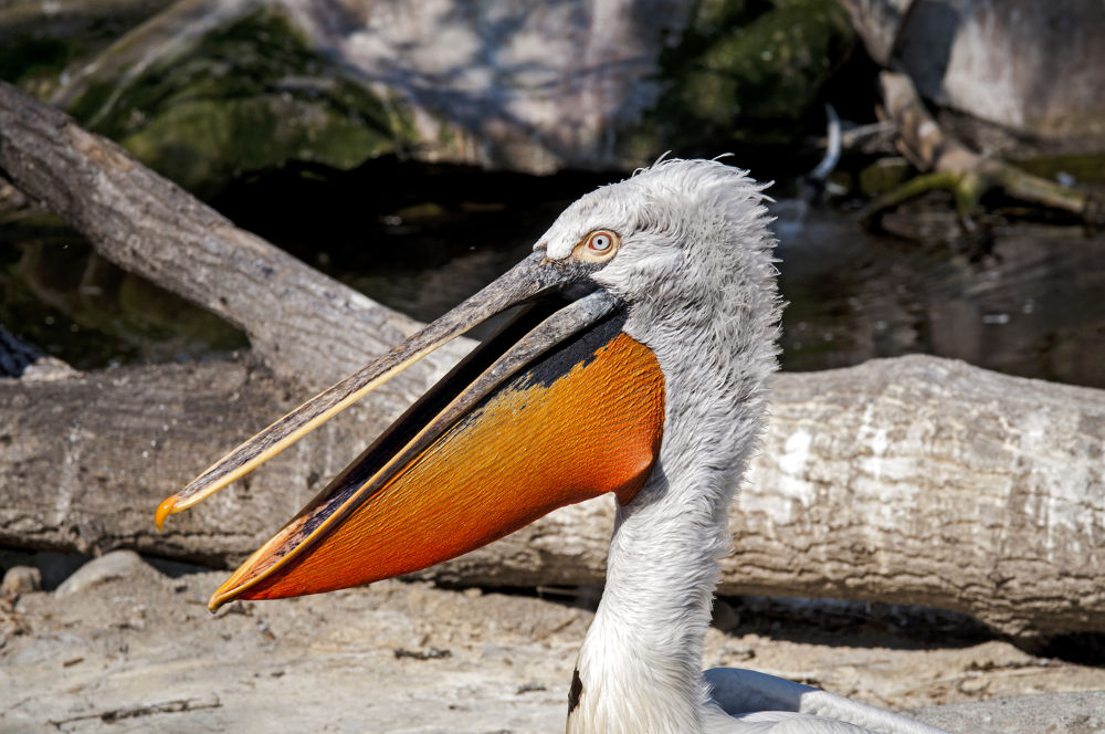Pelican by FreakshotPhotography