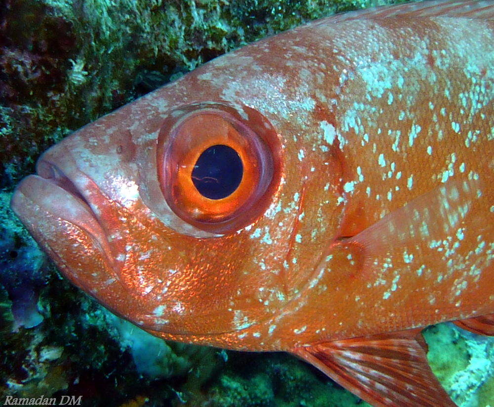 Red Sea Soldier Fish by Ramadan