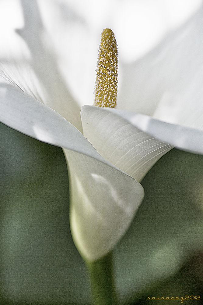 Flores CLII by ZacariasAbad