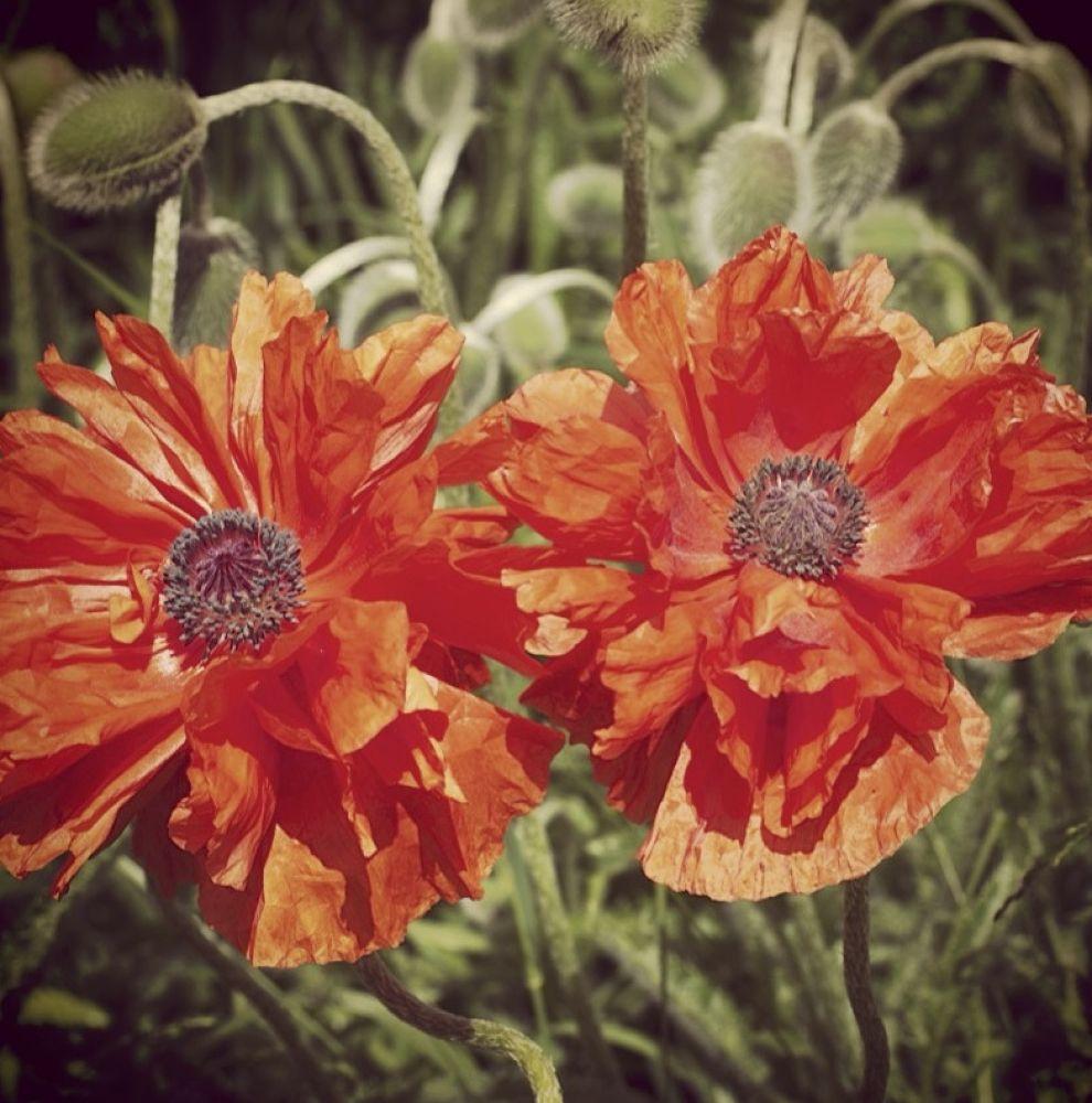 Poppies by rndmtn
