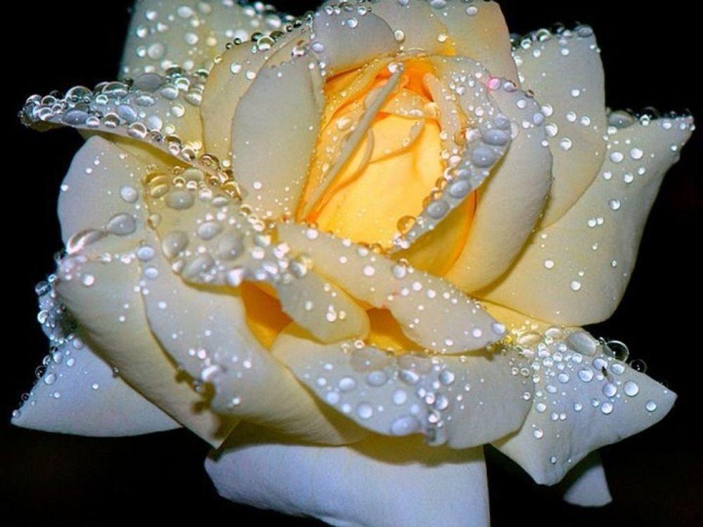 love Rose by hardeepsingh