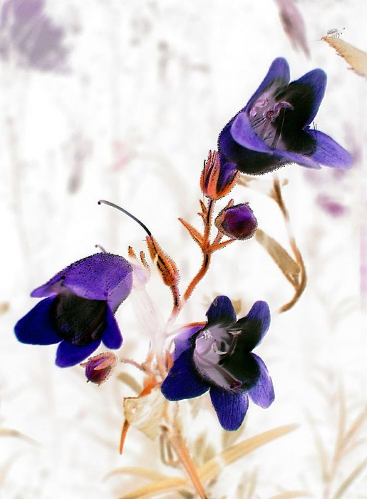 IA - Blue Flowers by bellamahri