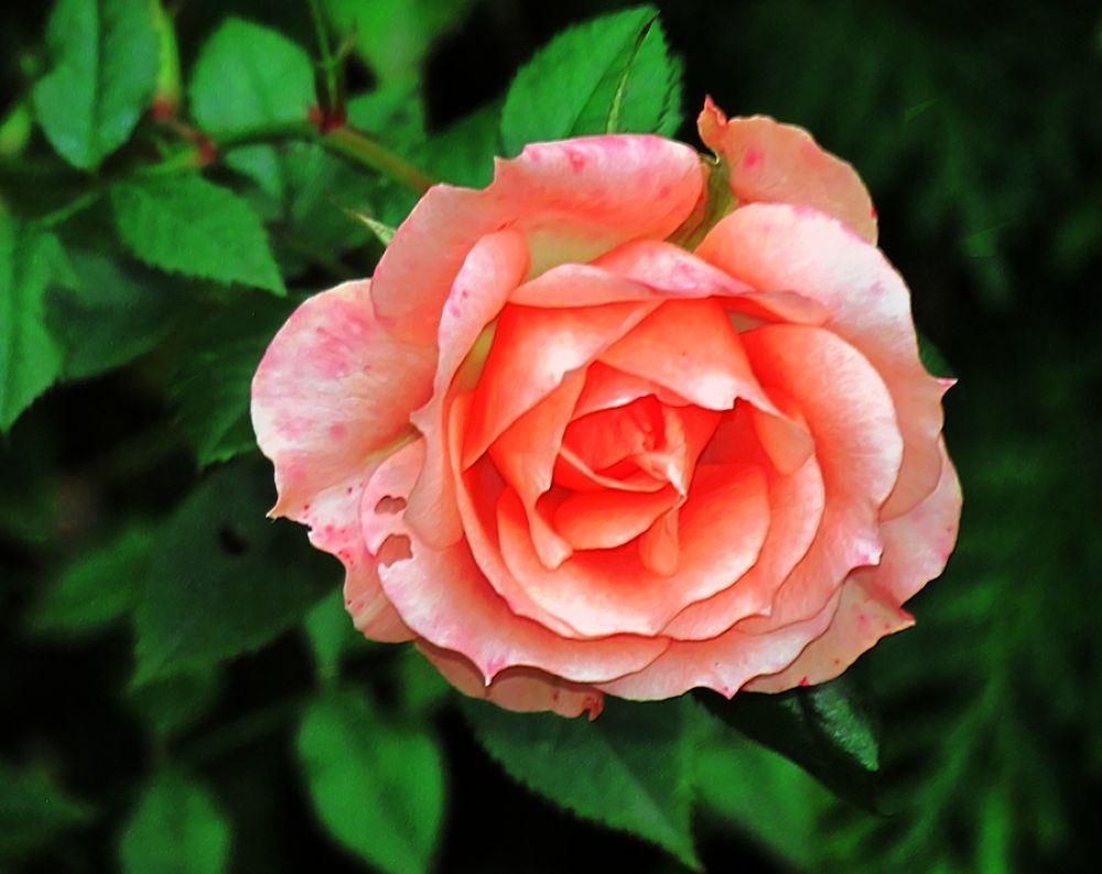 Rose - true color by bellamahri