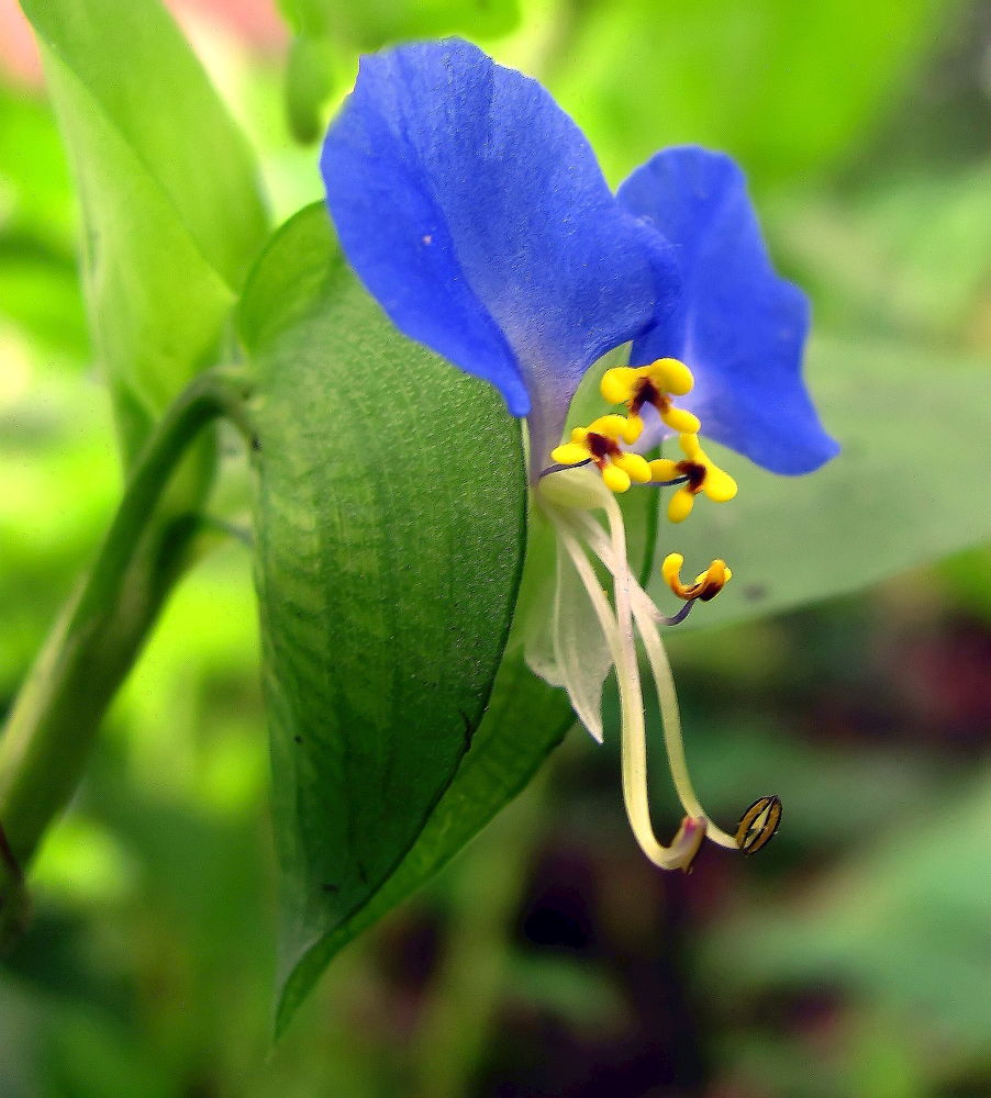 Winged Blue Dancer - 2309 by bellamahri