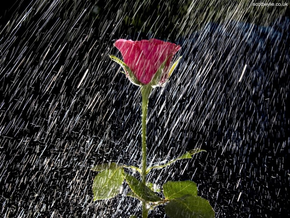 rose-and-water- by hardeepsingh